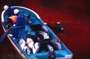 Japanes fishermen hauling dolphins from blood-stained waters
