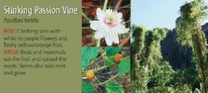 Stinking passion vine, from the brochure