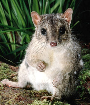 The endangered northern quoll - courtesy WWF
