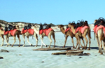 Cable Beach camels in 2003. Photo: Nachoman - au, Wikimedia.