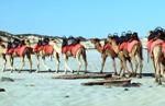 Cable Beach camels in 2003. Photo: Nachoman - au, Wikimedia.