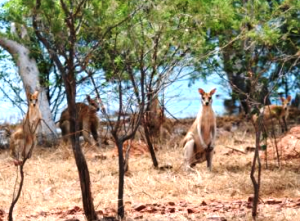 Stranded wallabies on a strip of land surrounded by the floodwaters. Picture courtesy DEC