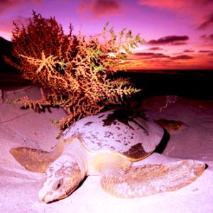 A flatback turtle nesting. Photo by Teri Shore